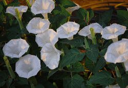 What She Wound Up With Was A Plant That Eared To Have 2 Diffe Types Of Flowers On One Mixed In Were Morning Glories