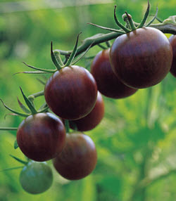 Tomato 'Black Cherry' from Burpee