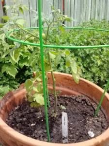 Tomato 'Power pops' in container