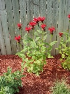 Monarda 'Jacob's Cline'