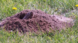 Gopher in soil