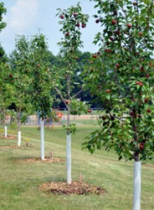 Fruit trees with white spiral