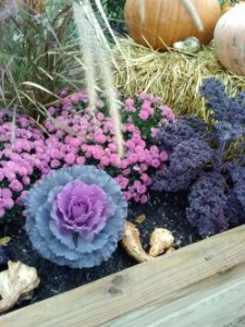 annual mums, flowering cabbage, kale