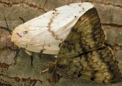 Gypsy Moths female on the left male on the right