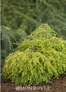 Eastern Hemlock 'Golden Duchess'