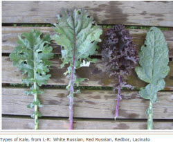 Kale types of