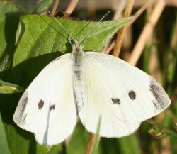Cabbage white butterfly-moth