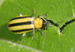 Cucumber beetle striped