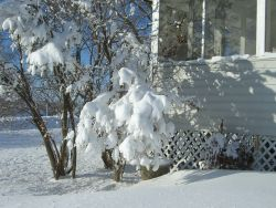 snow on lilac