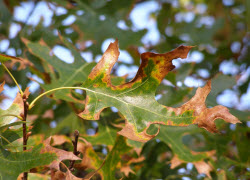 Oak wilt photo by Michele Grabowski UMN