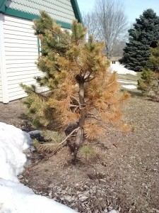 winter damage on pine - my next door neighbor