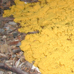 Dog Vomit Slime Mold yellow
