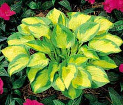 Hosta - Little sunspot