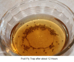 fruit fly trap 2