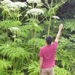 Giant Hogweed With Person