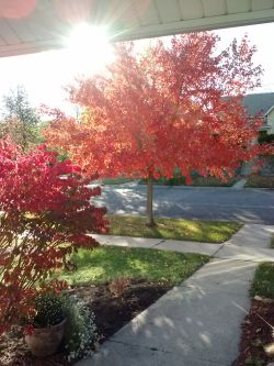 Maple and Burning bush