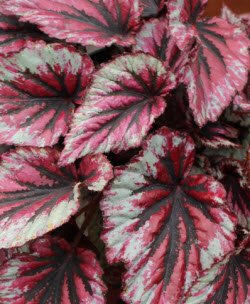 Begonia - Shadow King Cherry Mint