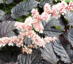 Astilbe 'Chocolate Shogun' flowers