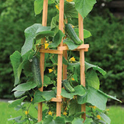 Cucumber 'Patio Snacker' Territorial Seed