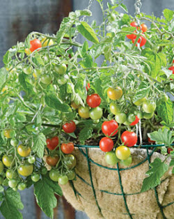 Tomato 'Sweetheart of the Patio'