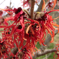 Witch hazel 'Diane'
