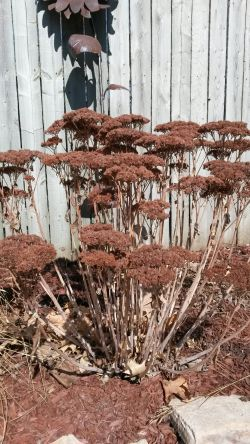 Sedum left up for winter interest