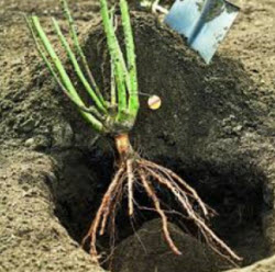 bare root planting