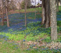 siberian squill in wooded area - picasa