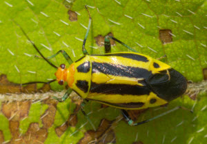 4-lined plant bug
