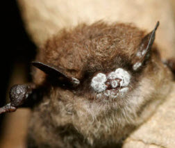 Bat with white nose syndrome