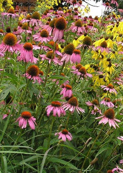 Echinacea - native purple coneflower