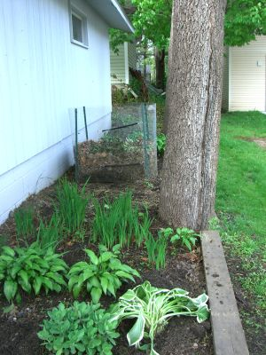 long view of hosta, compost, iris 5-26-15