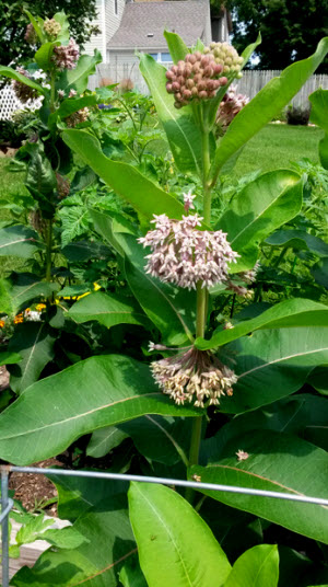 Milkweed - our garden