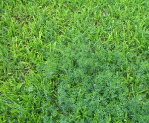 vetch in groundcover