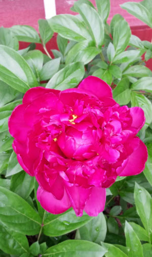 Red peony on the north side of my home!