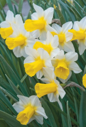 Daffodils - Golden Echo