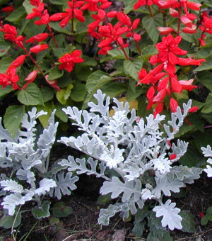 Dusty miller and red salvia