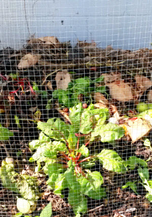 compost with swiss chard