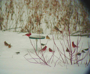 Cardinals larger