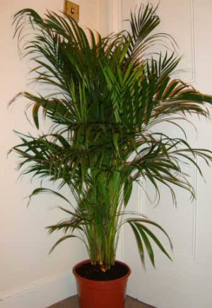 Areca Palm - NASA number one for air cleaning