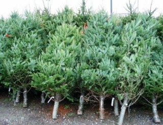 Christmas trees grouped