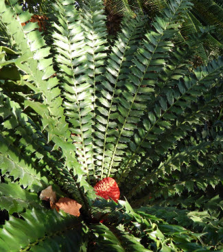 Cycad growing at the Missouri Botanical Garden
