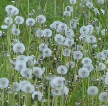 Dandelion puff balls