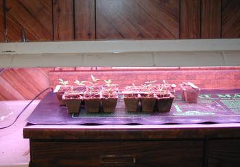 pepper seedlings with shoplight