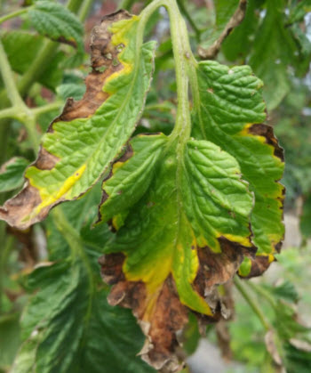 bacterial canker on tomato leaf