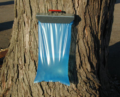 tapped tree with syrup bag