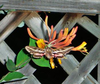 hummingbird sphinx moth