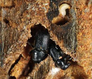 Pine bark beetle