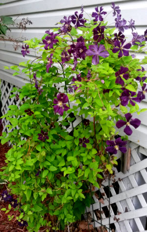 Clematis that came with my home.