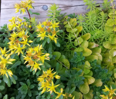 a couple of sedum varieties and creeping jenny